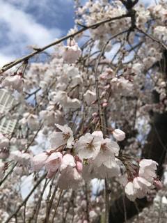 春満開、枝垂れ桜の写真・画像素材[1795859]