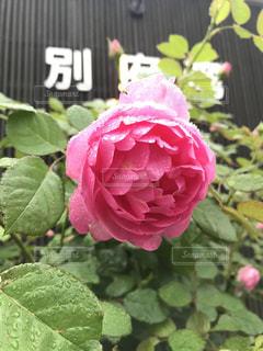 雨に咲くバラの写真・画像素材[1798547]