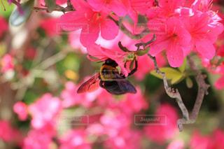 ツツジとハチの写真・画像素材[1800152]