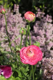 ラナンキュラスの花の写真・画像素材[1800153]