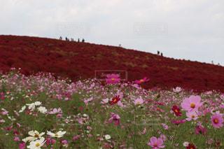 赤とピンクの競演の写真・画像素材[1800796]