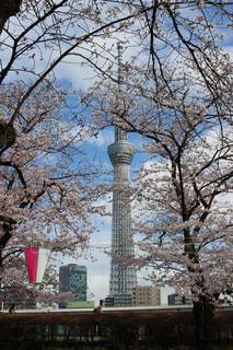 桜とスカイツリーの写真・画像素材[1802772]
