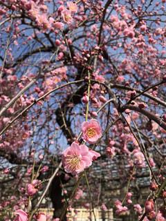 満開の枝垂れ梅の写真・画像素材[1804922]