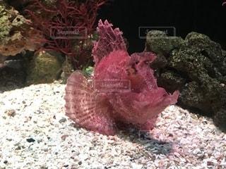 ピンクの魚の写真・画像素材[1808833]