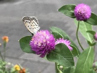 花とチョウの写真・画像素材[1810326]