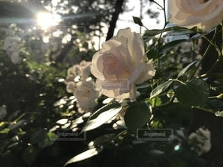 ピンクのバラの写真・画像素材[1812332]