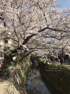 哲学の道 桜の頃の写真・画像素材[1812333]