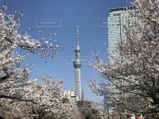 スカイツリーと桜の写真・画像素材[1812992]