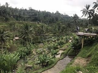 海外,緑,植物,棚田,樹木,田,バリ島
