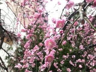 満開の梅の写真・画像素材[1822629]
