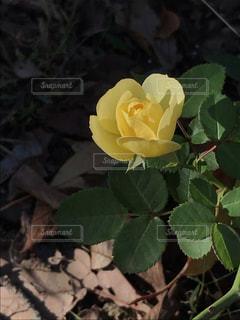 花,黄色,バラ,草木