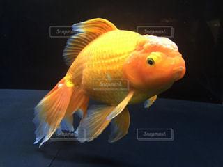 金魚の写真・画像素材[1840037]