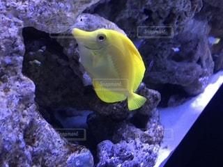魚,黄色,水族館,水槽