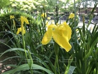 キショウブの花の写真・画像素材[1846184]
