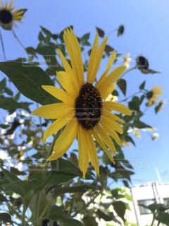 花,夏,黄色,草木,ヒマワリ