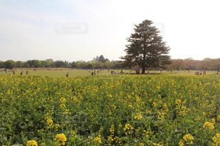 菜の花畑のある公園の写真・画像素材[1855610]