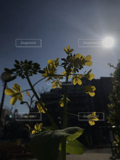 公園,春,屋外,黄色,菜の花,草木