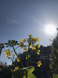 公園,春,屋外,太陽,黄色,菜の花,草木
