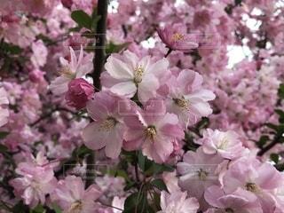 ピンクの花ざかりの写真・画像素材[1971682]