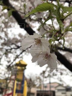 公園,桜,雨,屋外,水,水滴,草,樹木,遊具,草木
