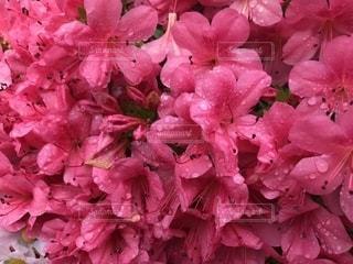 雨の日のツツジの写真・画像素材[2164709]