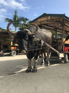 竹富島の水牛車の写真・画像素材[2278472]