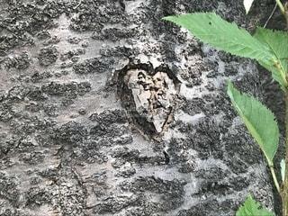 木に刻まれたハートの写真・画像素材[2309413]