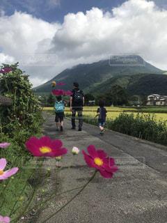 由布岳とコスモスと後ろ姿の写真・画像素材[2641473]