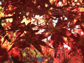 秋の葉の写真・画像素材[2668839]