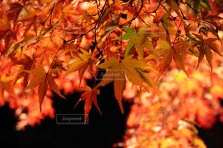 夜の紅葉の写真・画像素材[2668841]
