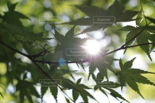 青紅葉と木漏れ日の写真・画像素材[2883616]