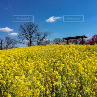 菜の花畑の写真・画像素材[1860607]