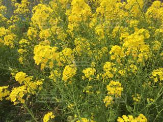 花,春,黄色,菜の花,草木