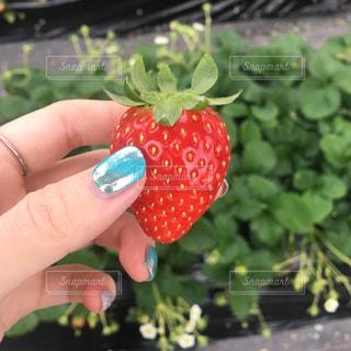 赤,手,いちご,苺,フルーツ,いちご狩り,フレッシュフルーツ