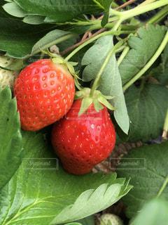 食べ物,春,緑,赤,日光,影,日差し,いちご,苺,フルーツ,果物,甘い,いちご狩り,赤色,緑色,イチゴ,2つ,2