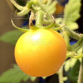 食べ物,夏,屋外,黄色,葉,日光,ミニトマト,アップ,夏休み,丸い,草木,ひなた,ズームアップ,1,食べごろ