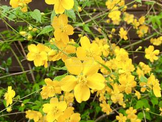 自然,花,植物,黄色,茶色,鮮やか,満開,新緑,小さい,茎,イエロー,yellow,外壁,山吹,やまぶき