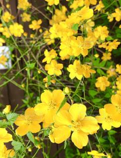 自然,花,植物,黄色,茶色,鮮やか,満開,新緑,小さい,茎,イエロー,yellow,外壁,多彩,山吹,やまぶき