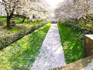 桜並木の写真・画像素材[1832927]