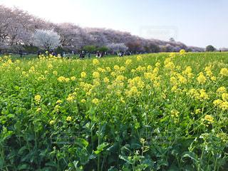 花,青空,黄色,菜の花,桜並木,満開,たくさん,緑色,権現堂