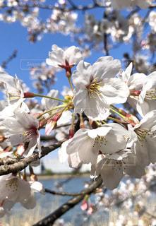 青空の下に咲く桜の写真・画像素材[1885132]