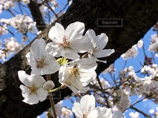 青空に映える満開の桜の写真・画像素材[1885592]