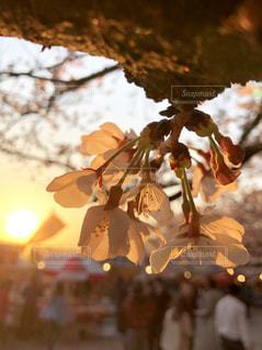 夕日と桜の花びらの写真・画像素材[1933145]