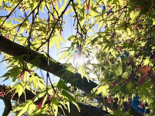 新緑のもみじと木洩れ日の写真・画像素材[1996700]