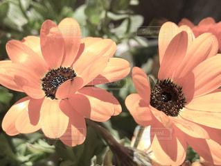 花,太陽,緑,茶色,日光,日差し,草,植木,ベージュ,ガーベラ,2,ミルクティー色