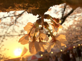 黄昏時の桜の写真・画像素材[2018428]