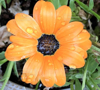 雨,屋外,緑,葉っぱ,茶色,水滴,葉,鉢植え,雨上がり,雫,オレンジ色,しずく,滴,ガーベラ,緑色,フローラ