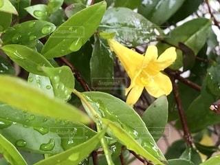 花,雨,屋外,緑,葉っぱ,黄色,水滴,葉,新緑,雨上がり,雫,しずく,滴,雨粒,ジャスミン,フローラ