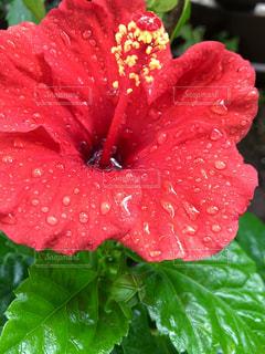 花,雨,屋外,緑,植物,赤,水,ハイビスカス,水滴,一輪,草,新緑,水玉,雫,しずく,雨粒,草木,1,フォトジェニック,ズームアップ,フローラ