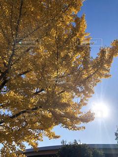 日差しを浴びる銀杏の葉の写真・画像素材[2796346]